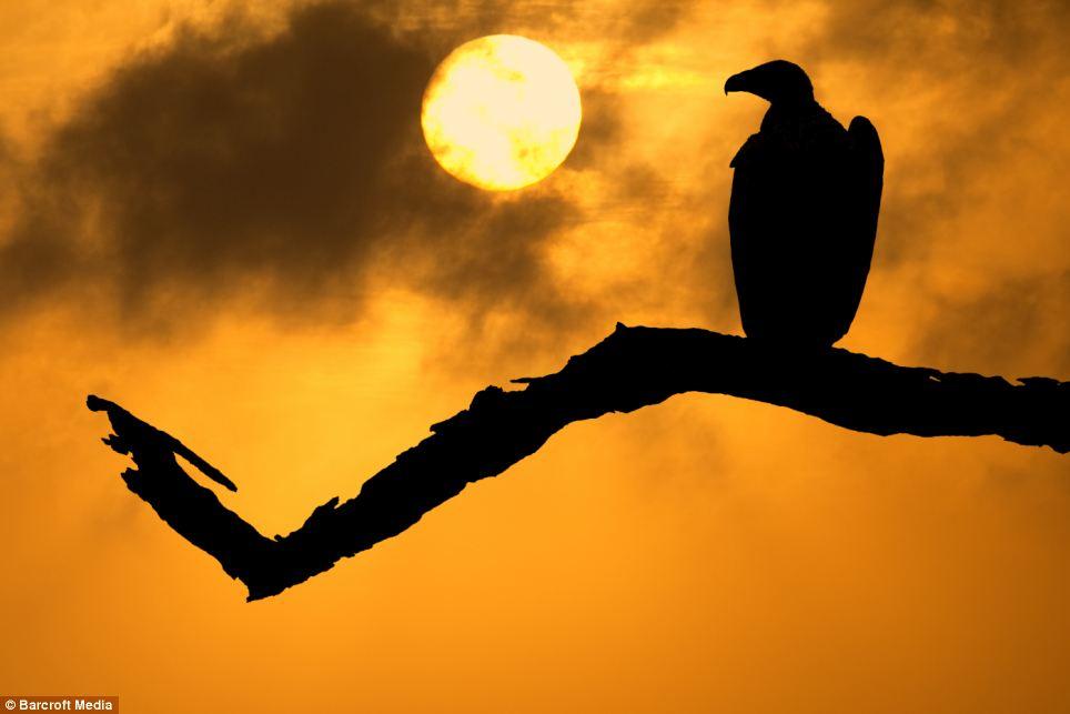 cape-vulture-at-sunrise-in-satara-area-in-kruger-national-park-s-africa